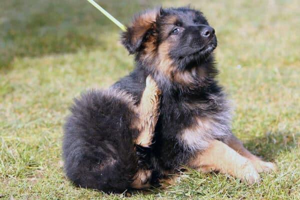 Pulci nel cane: ecco una guida per risolvere questo problema